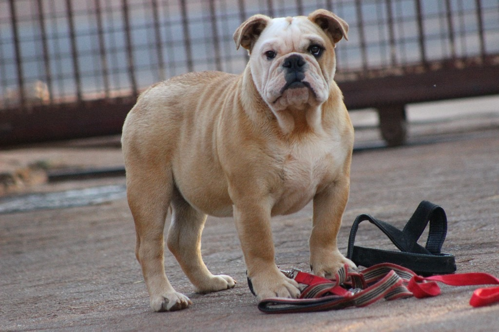 Beautiful english male bulldog