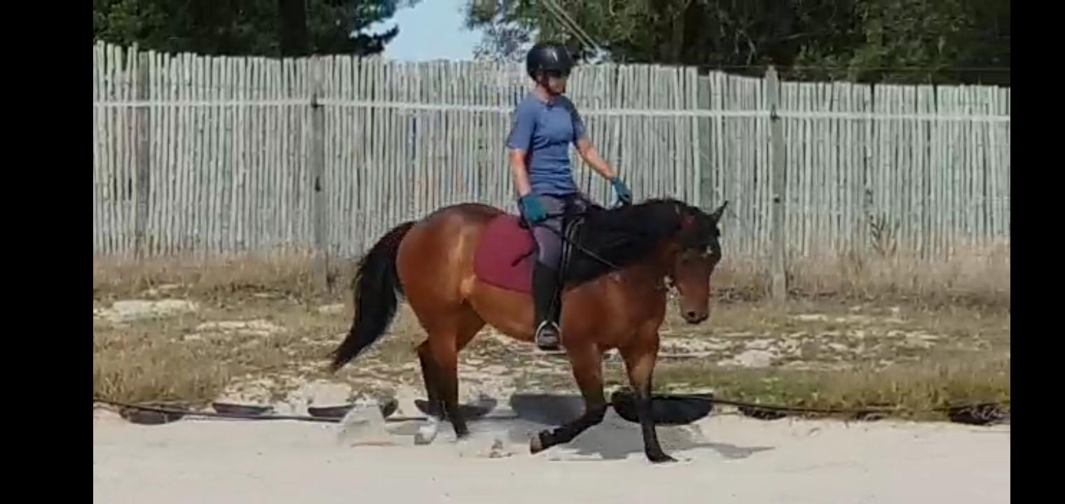 Quarter horse gelding (registered)