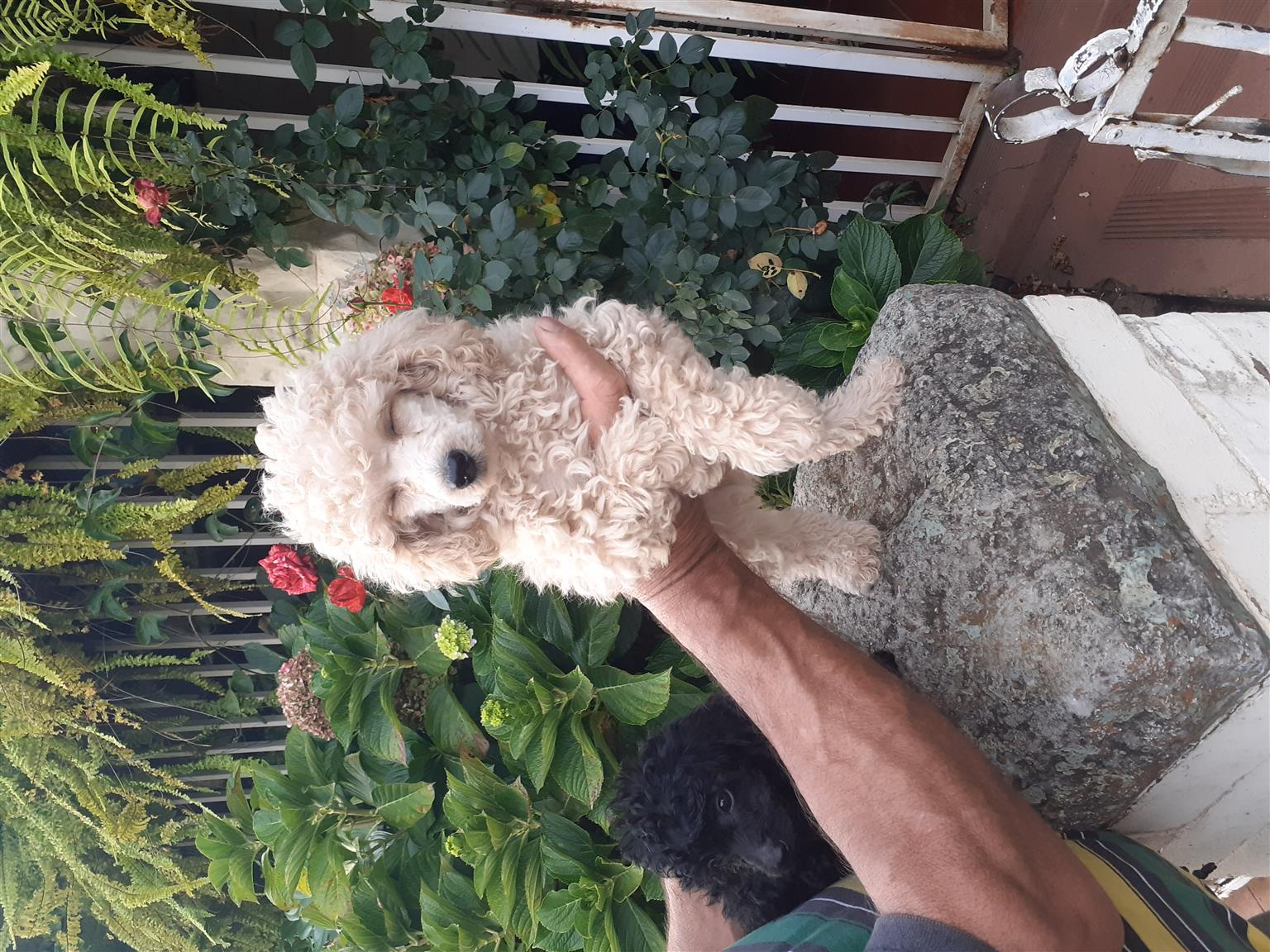 Toy French Poodles