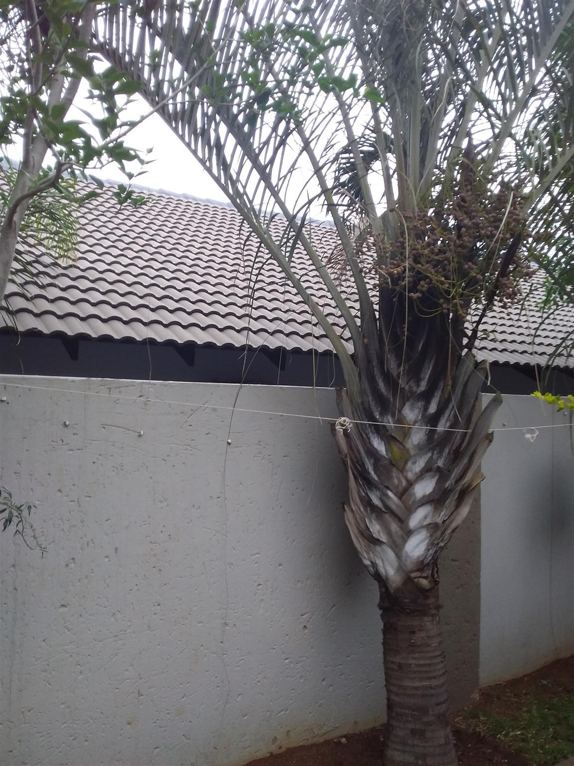 Triangle Palms ,( Dypsis decaryi)