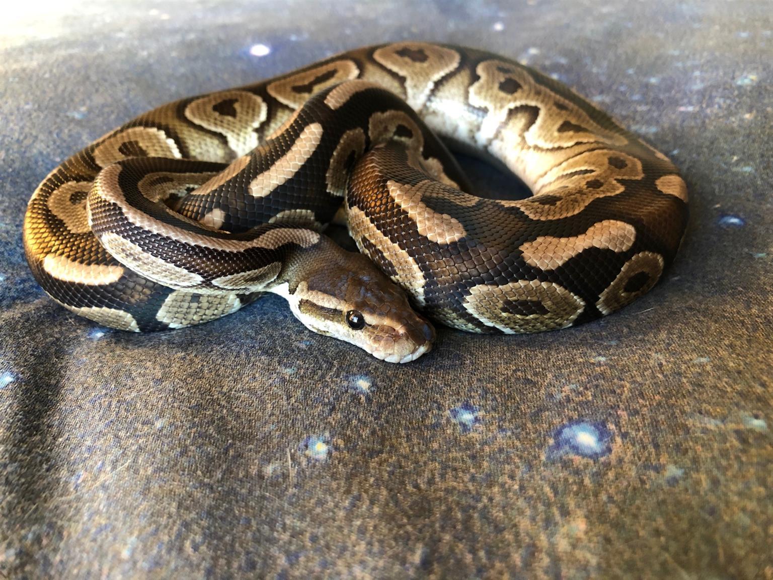 Cinnamon Ball Python (Male)