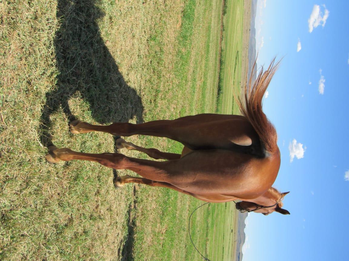Shimmaree : 6 year old Arabian Gelding