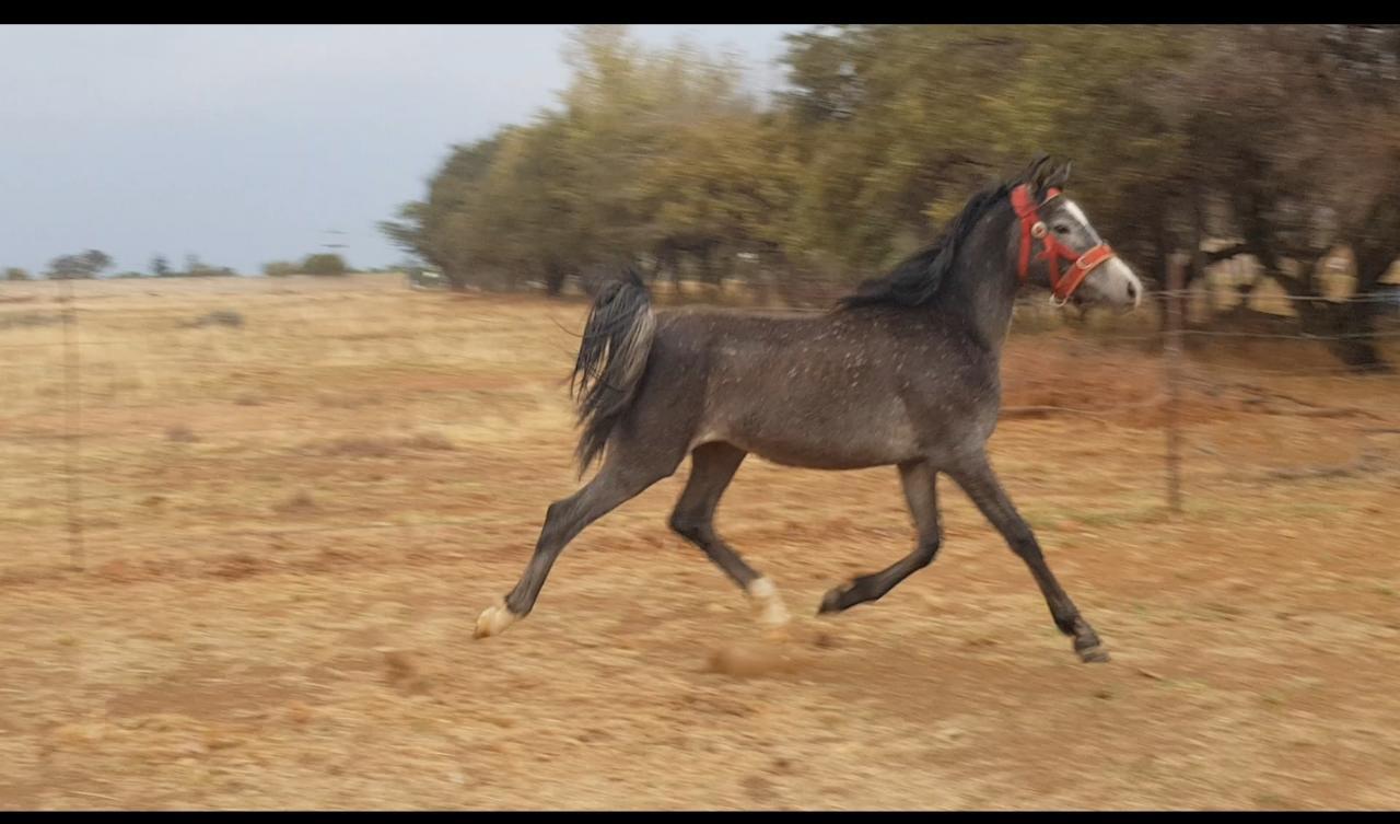 Arabian Mare filly