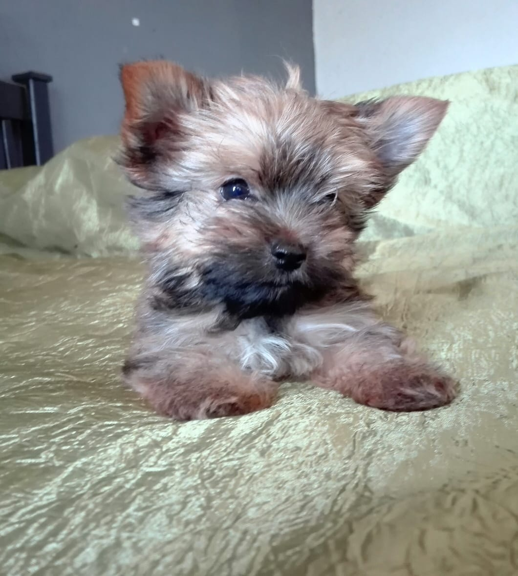 Yorkie puppies pocket size small size Yorkshire terrier