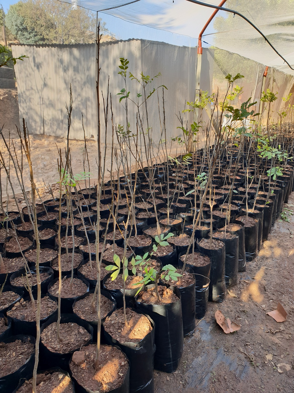 Pecan nut trees- 2 year old