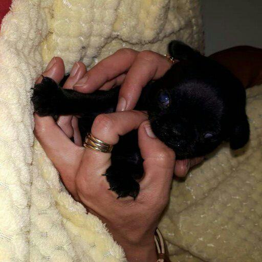 Registerd Pug Puppies