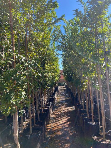 River bushwillow trees