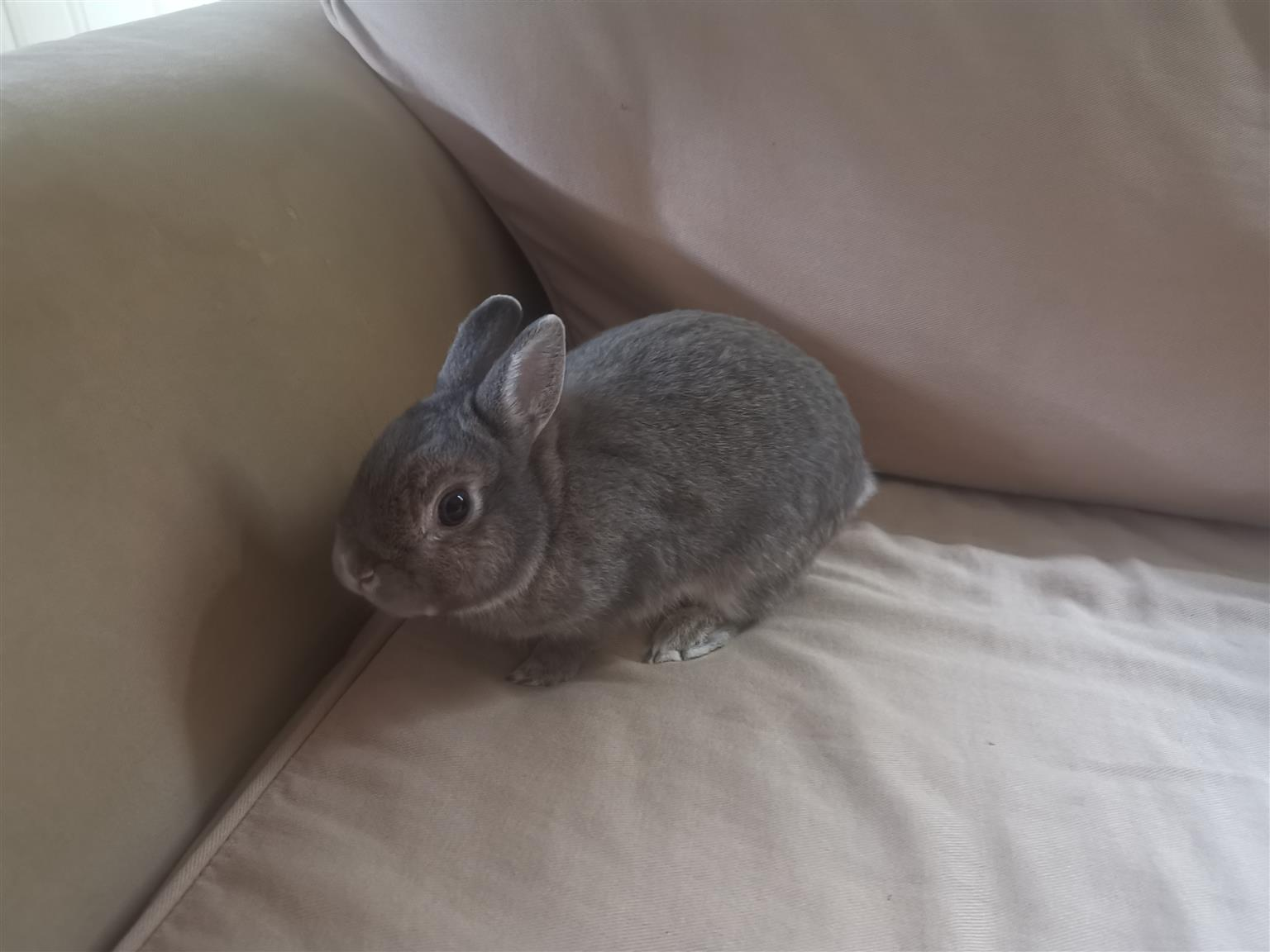 Dwarf rabbits looking for a good home