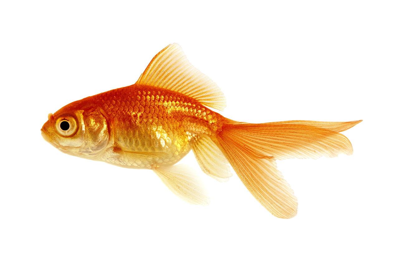 Goldfish for Sale - Pond Large