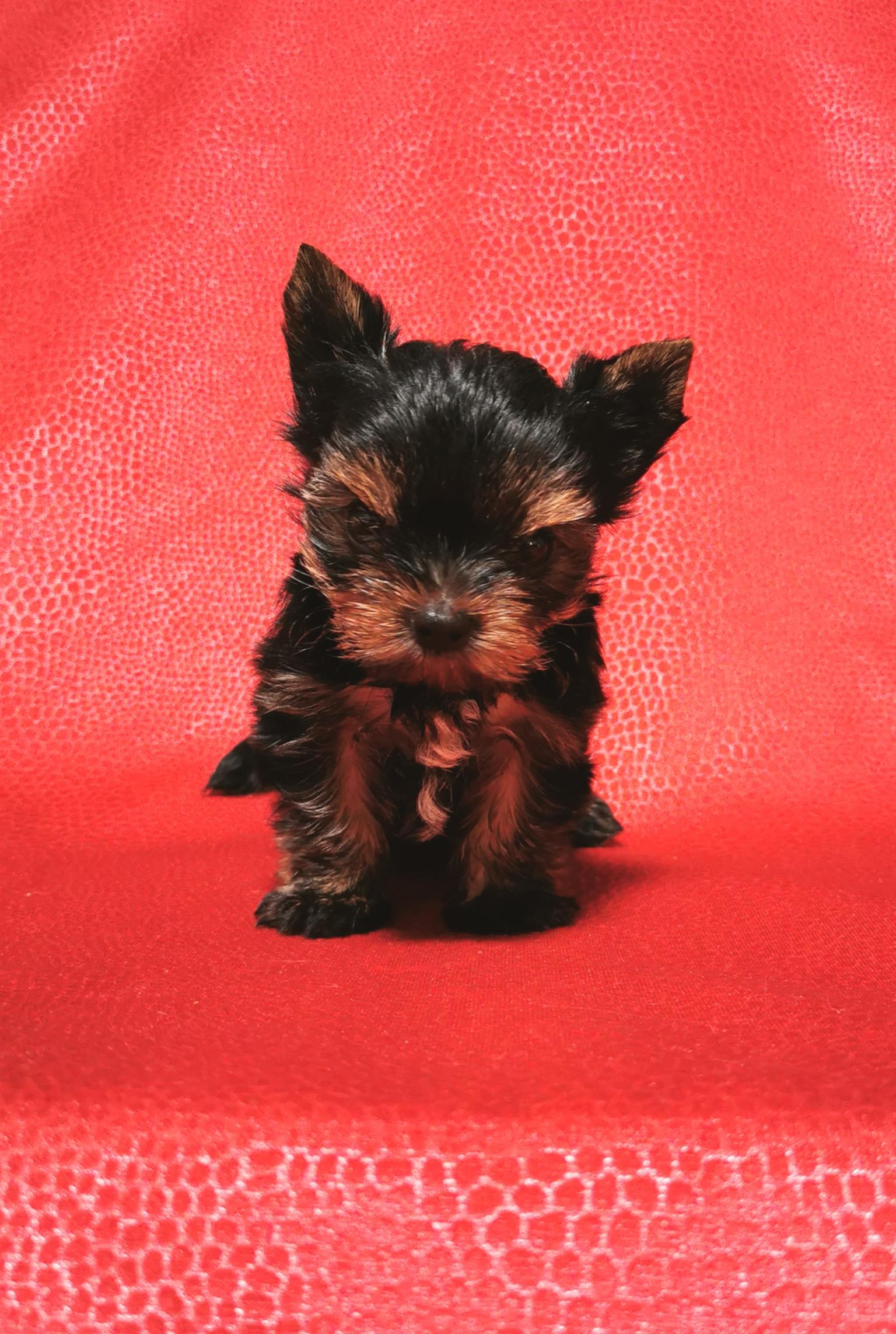 Small Pocket size Female Yorkies