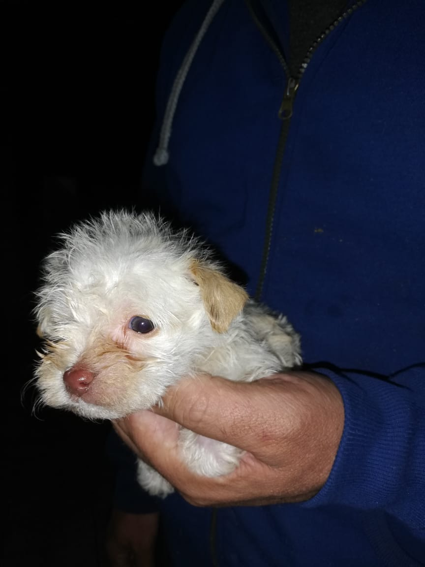 MINIATURE MORKIES PUPPIES FOR SALE