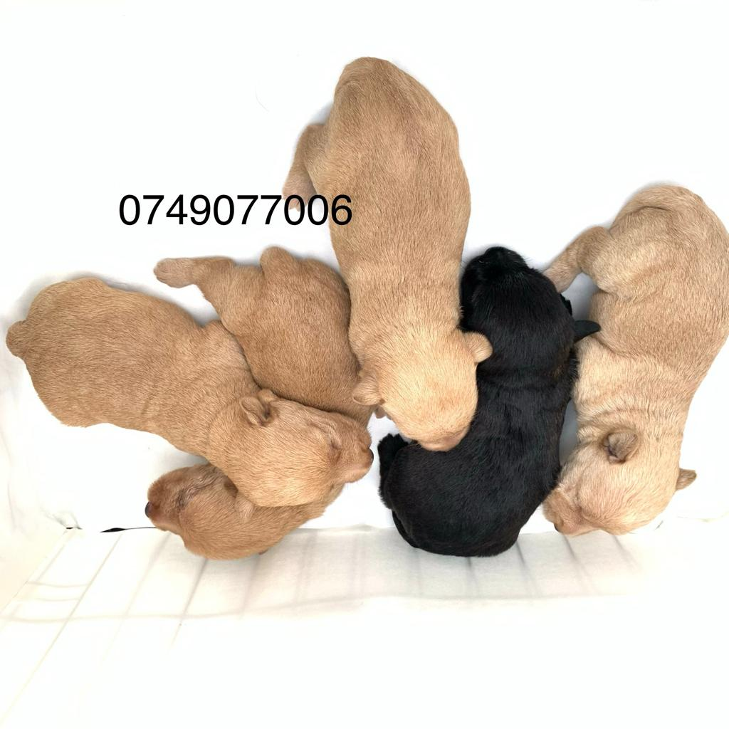 SCOTTISH TERRIER PUPPIES AVAILABLE
