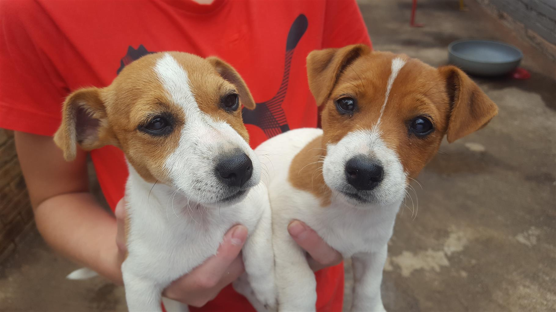 Jack russel / foxy Puppys for sale