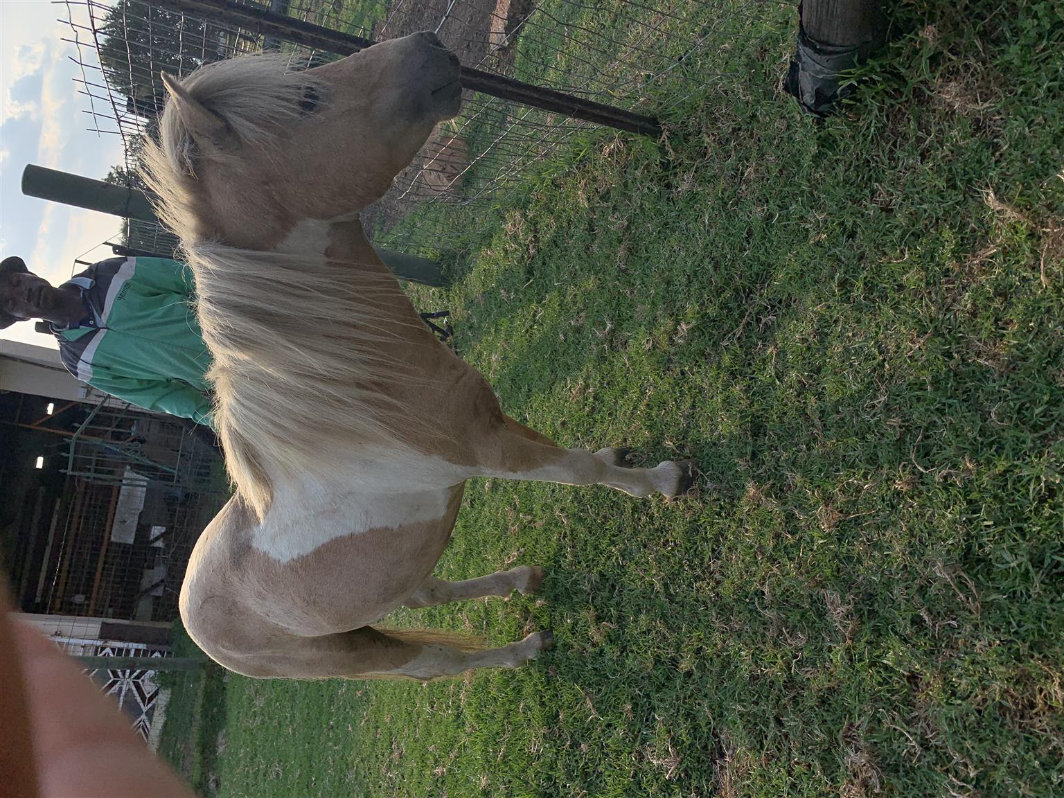 Miniature Horse Stallion For Sale.