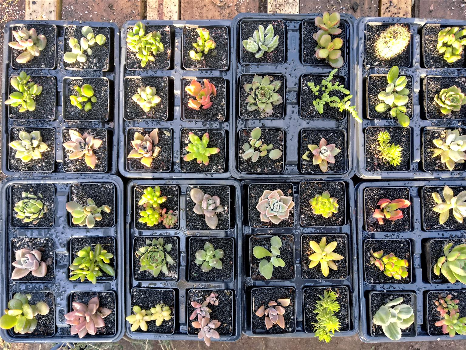 Succulents in seed trays , 6 plants from R30