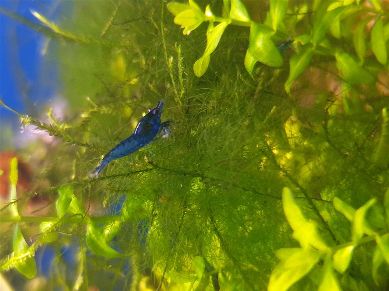 Blue Dream / Blue Diamond Shrimp
