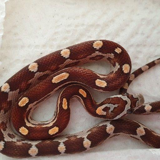 motley corn snakes
