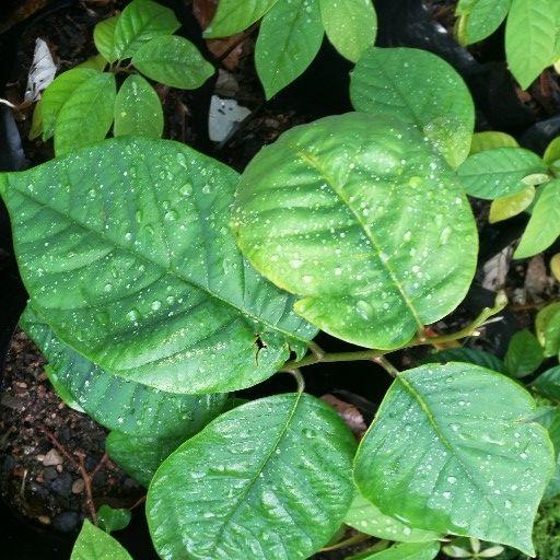 Custard apple (Annona reticulata) seedlings