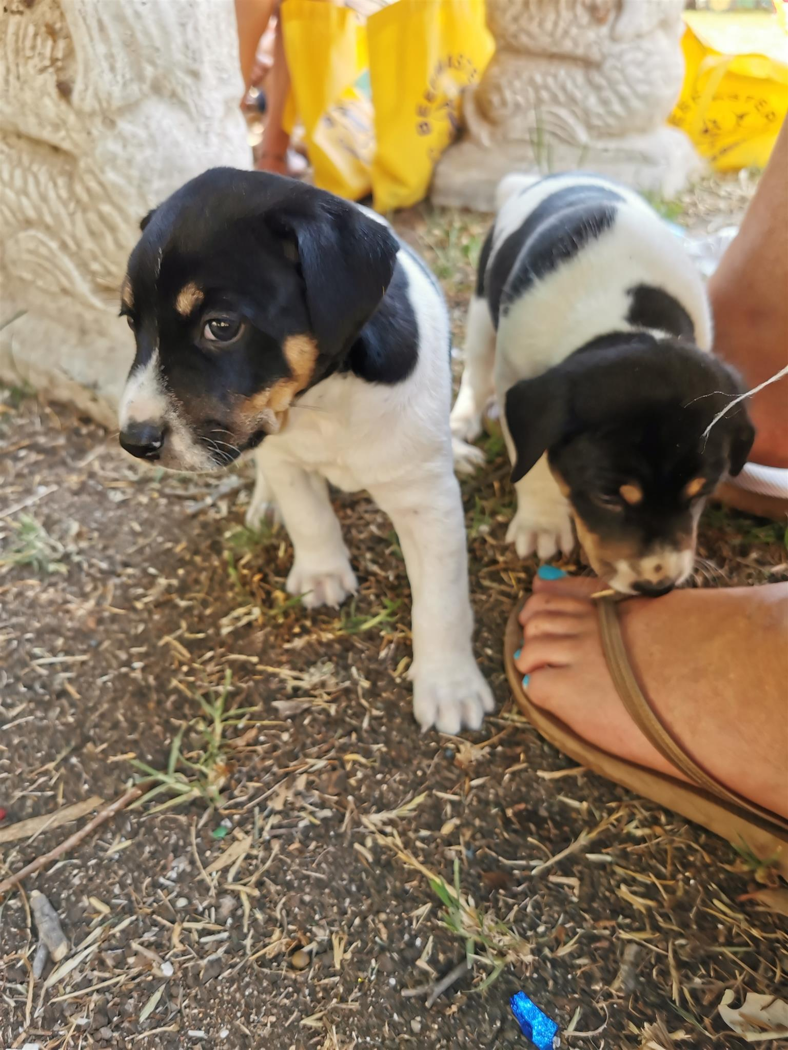 Foxterrier puppies