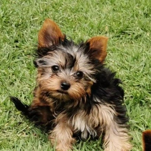 Pocket and Miniature size Yorkies