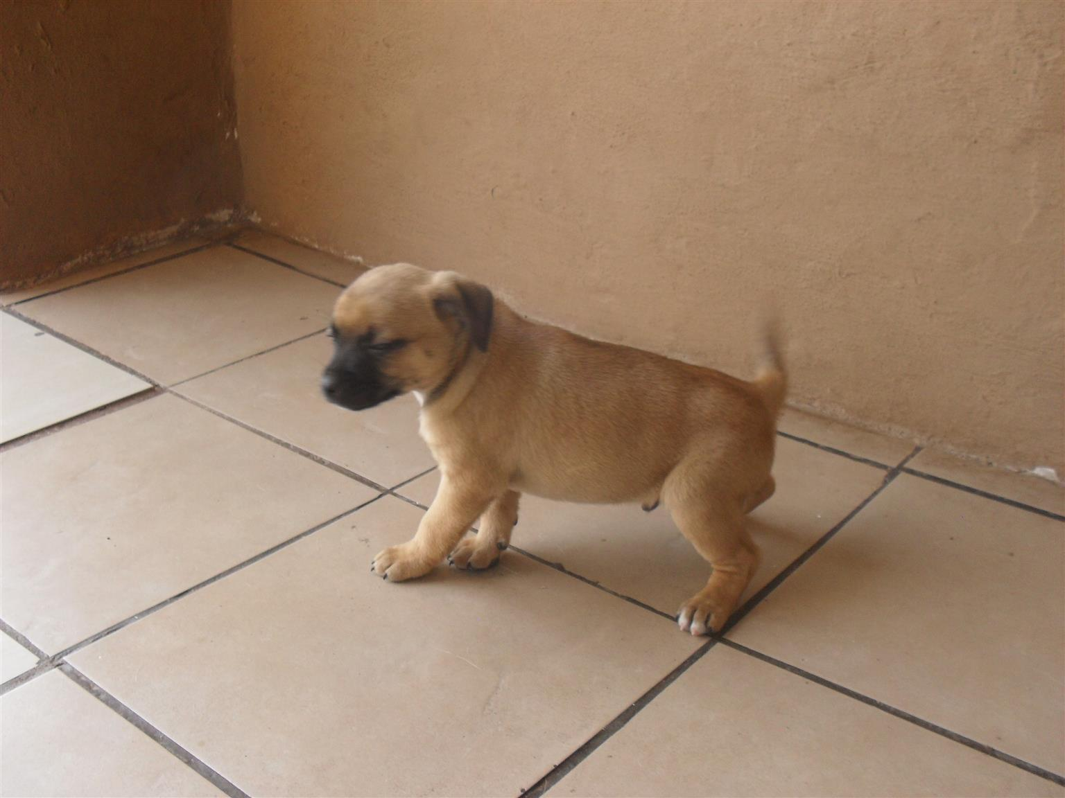 Pug X Jack Russell Puppies