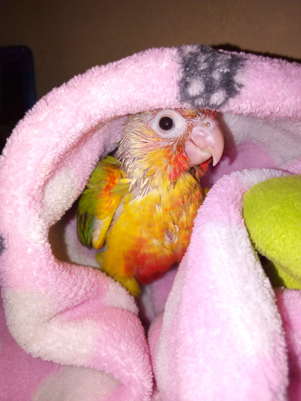 Missing parrot pineapple conure