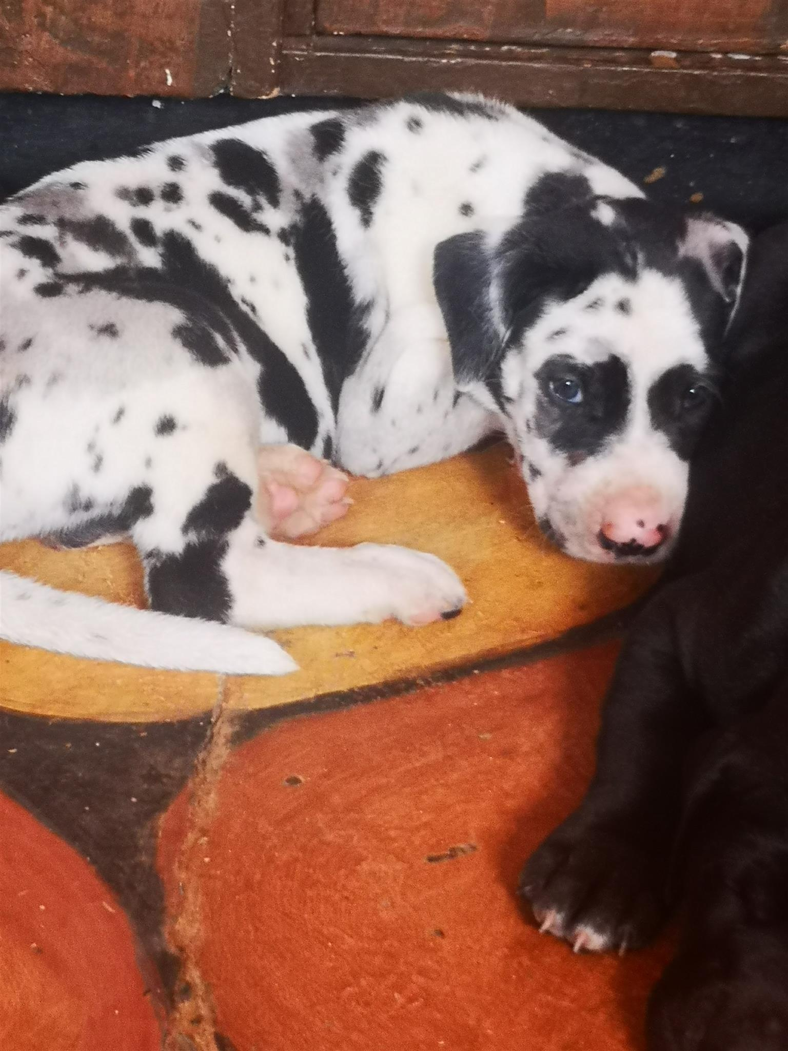 Registered Great Dane puppies available immediately