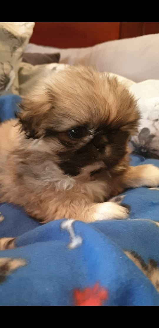 Beautifull Pekginese puppies for sale