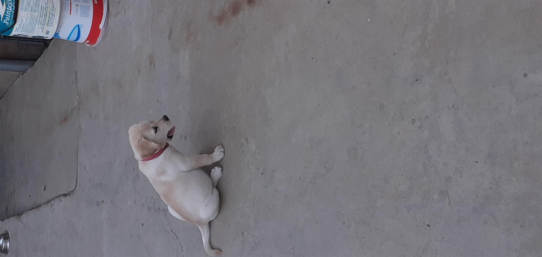 Pure bred labrador pup