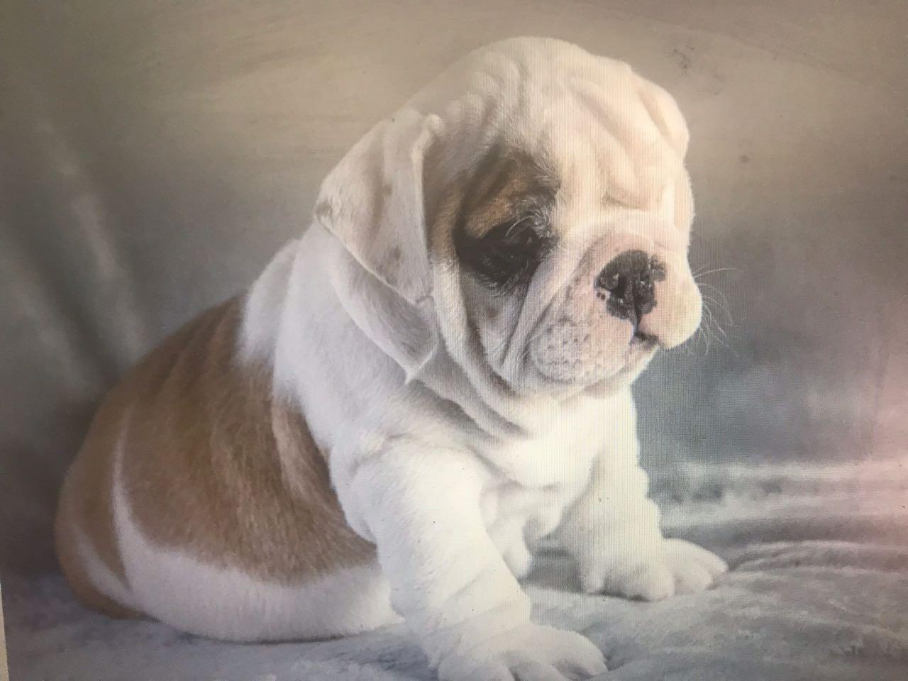 Bulldog Reuntjie
