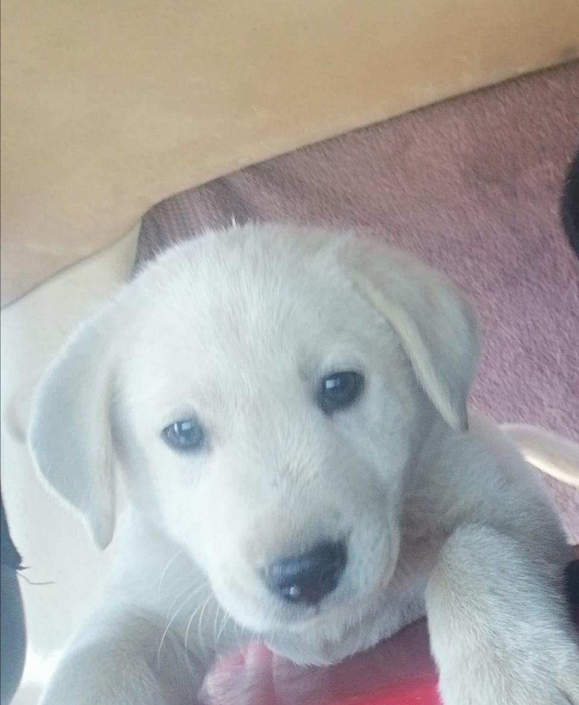 Labrador puppies ies