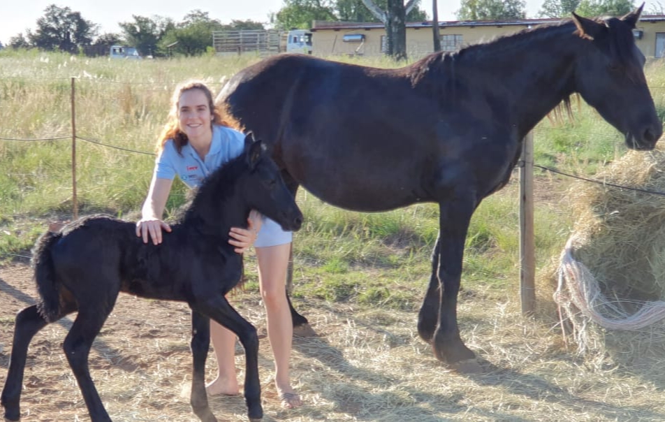 3 Friesians for sale