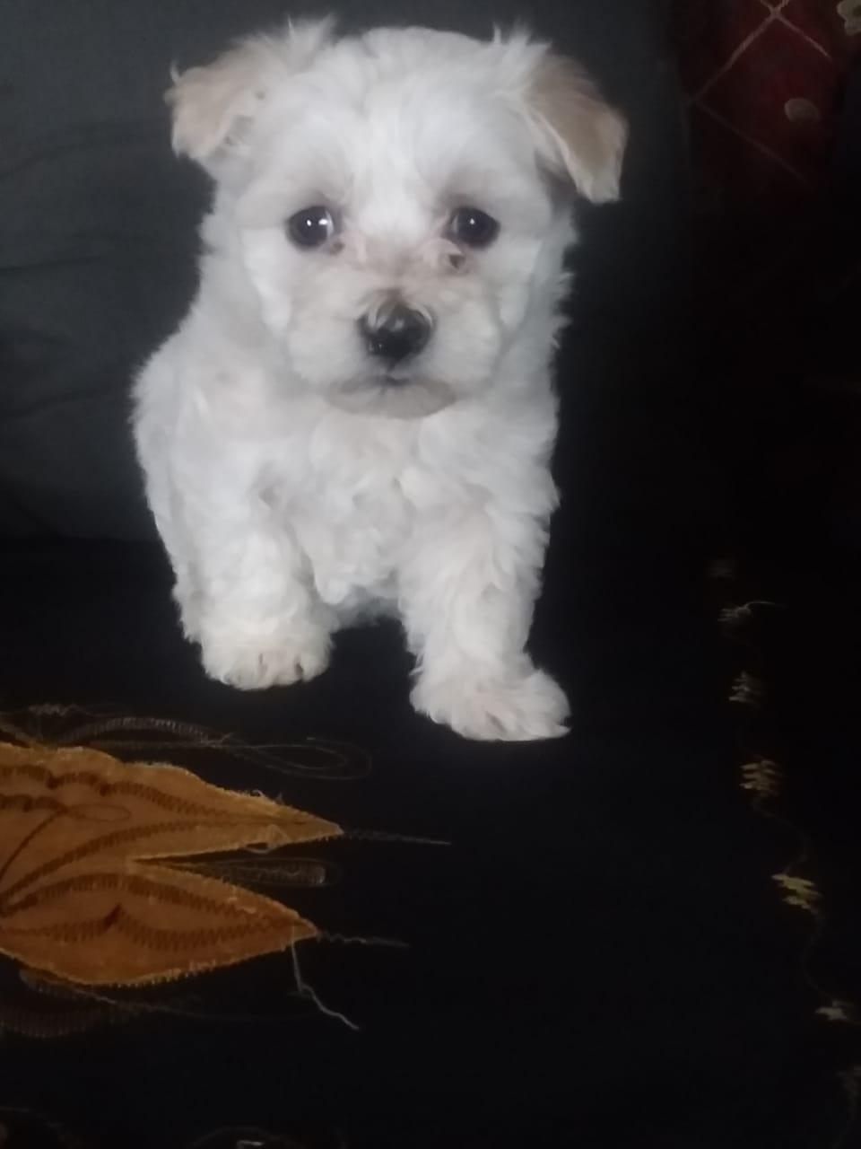 teacup maltese poodle female puppy