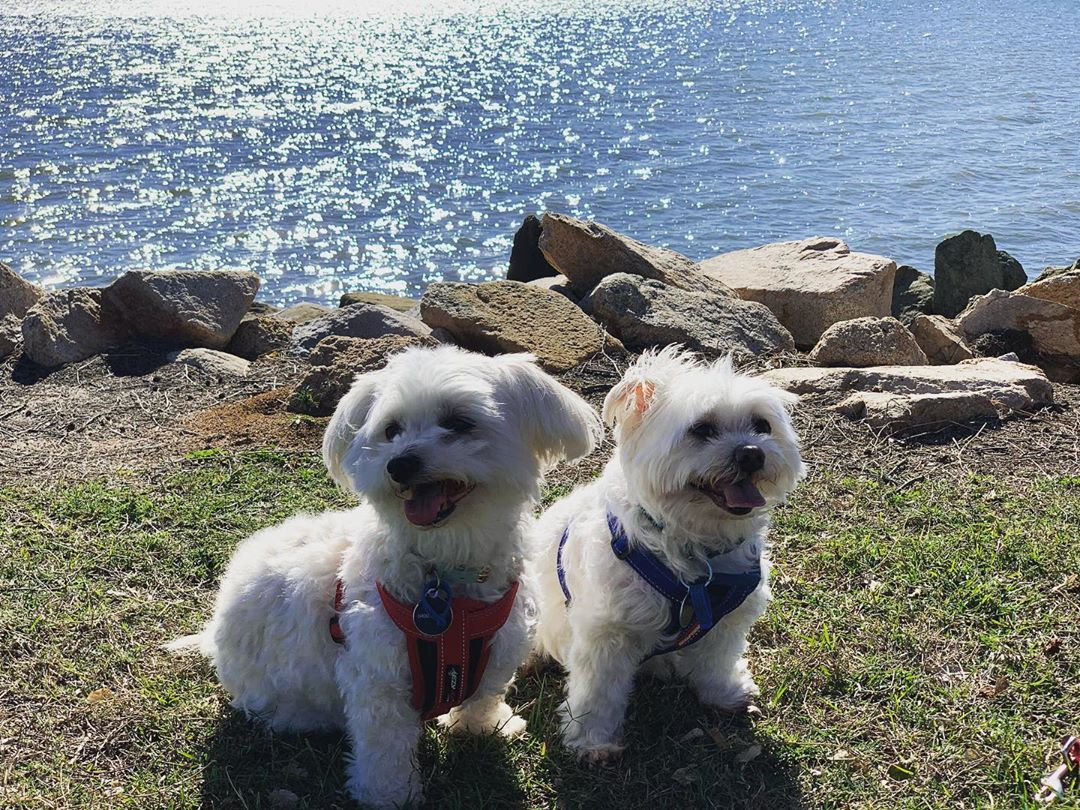 3 Beautiful Maltese Puppies for sale
