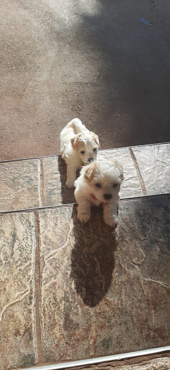 Maltees Puppies