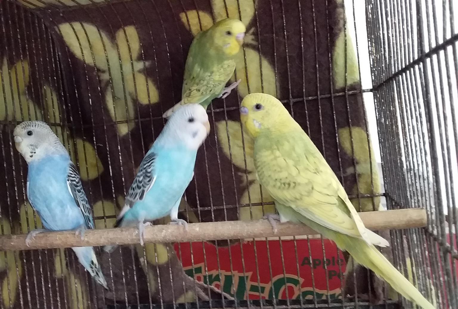 Budgies available