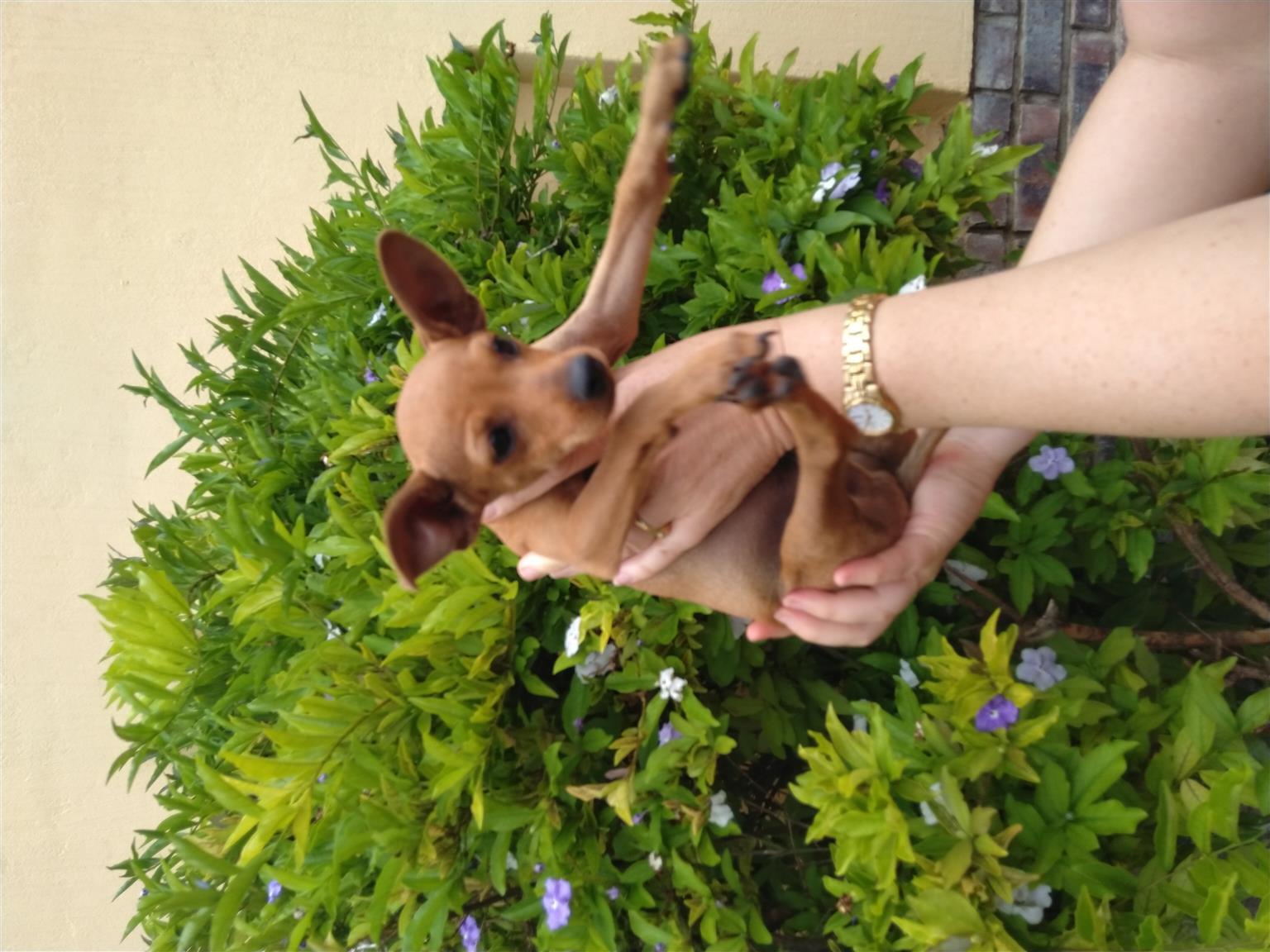 Miniature Doberman puppies