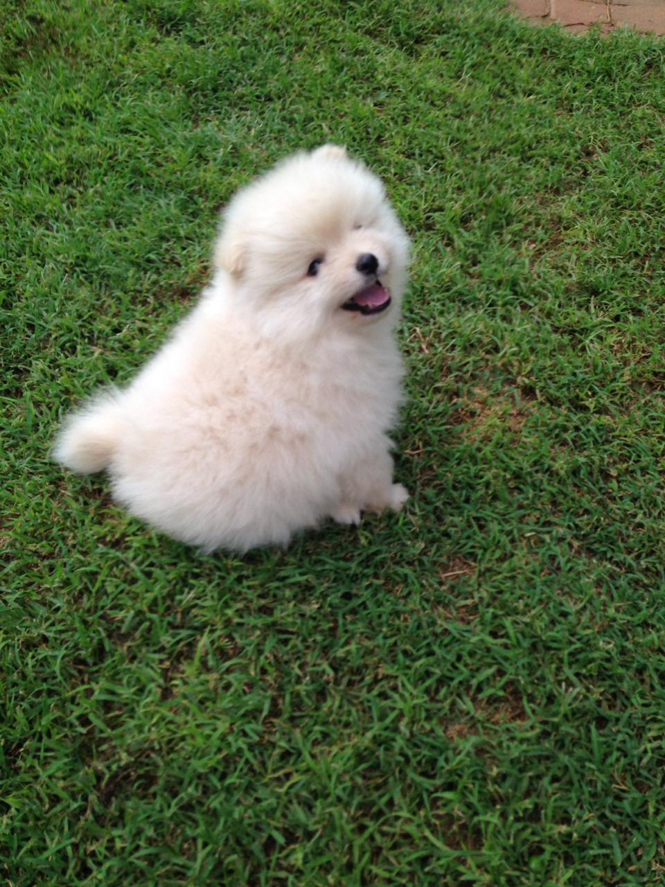 Toypoms. Pomeranian