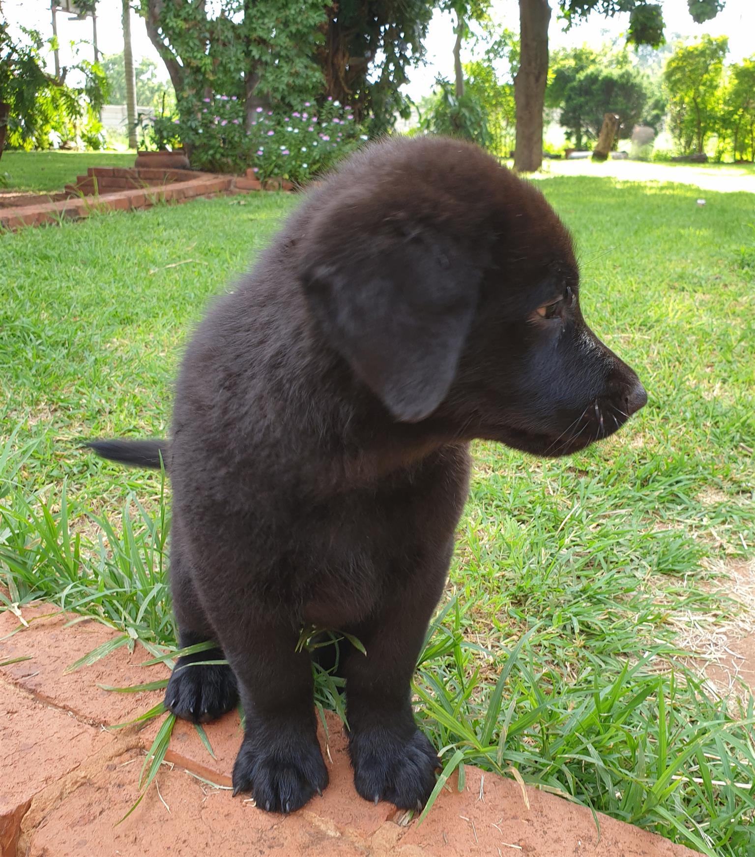 Beautiful pedigree Sheprador (Labrador X German Shepherd) ready to go to their new homes