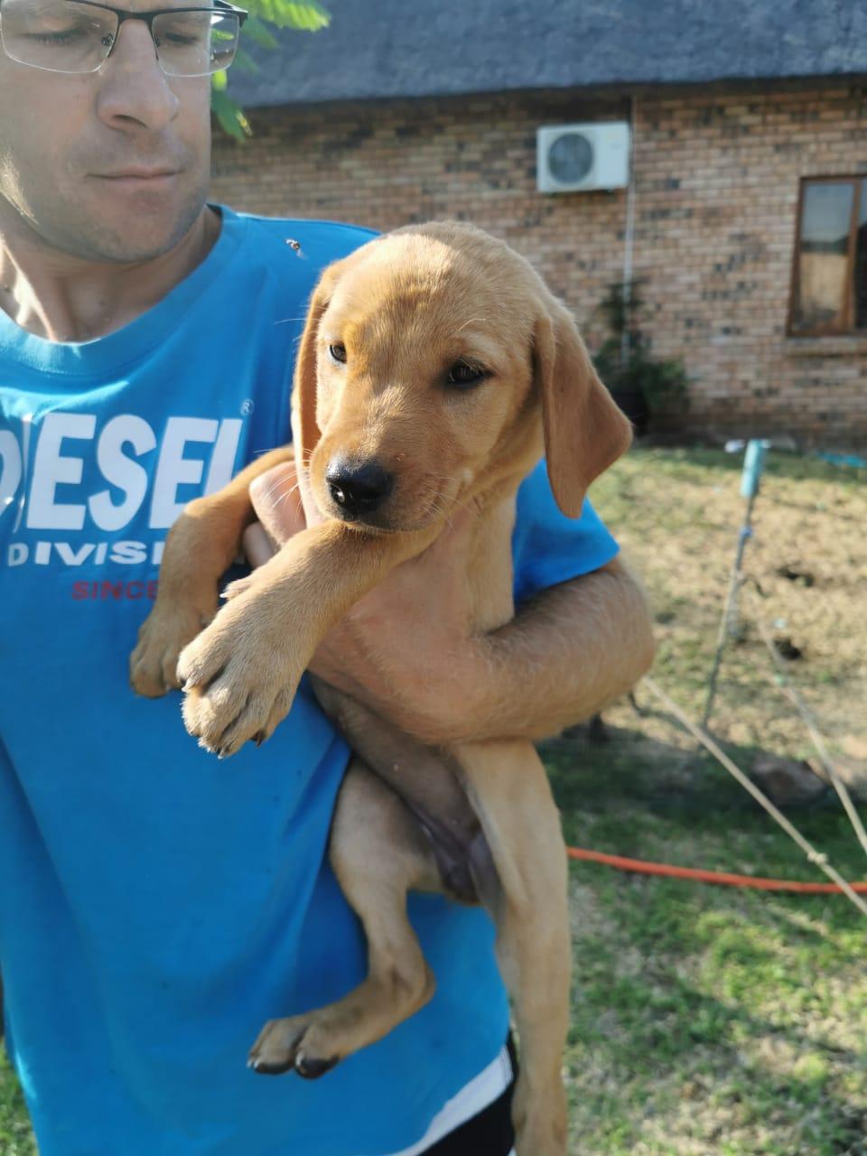 Rhodesian Labrador pups for sale