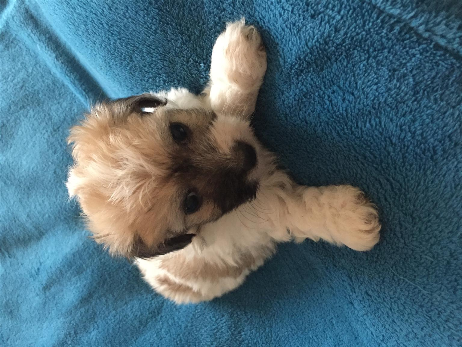 Maltese poodle male puppies