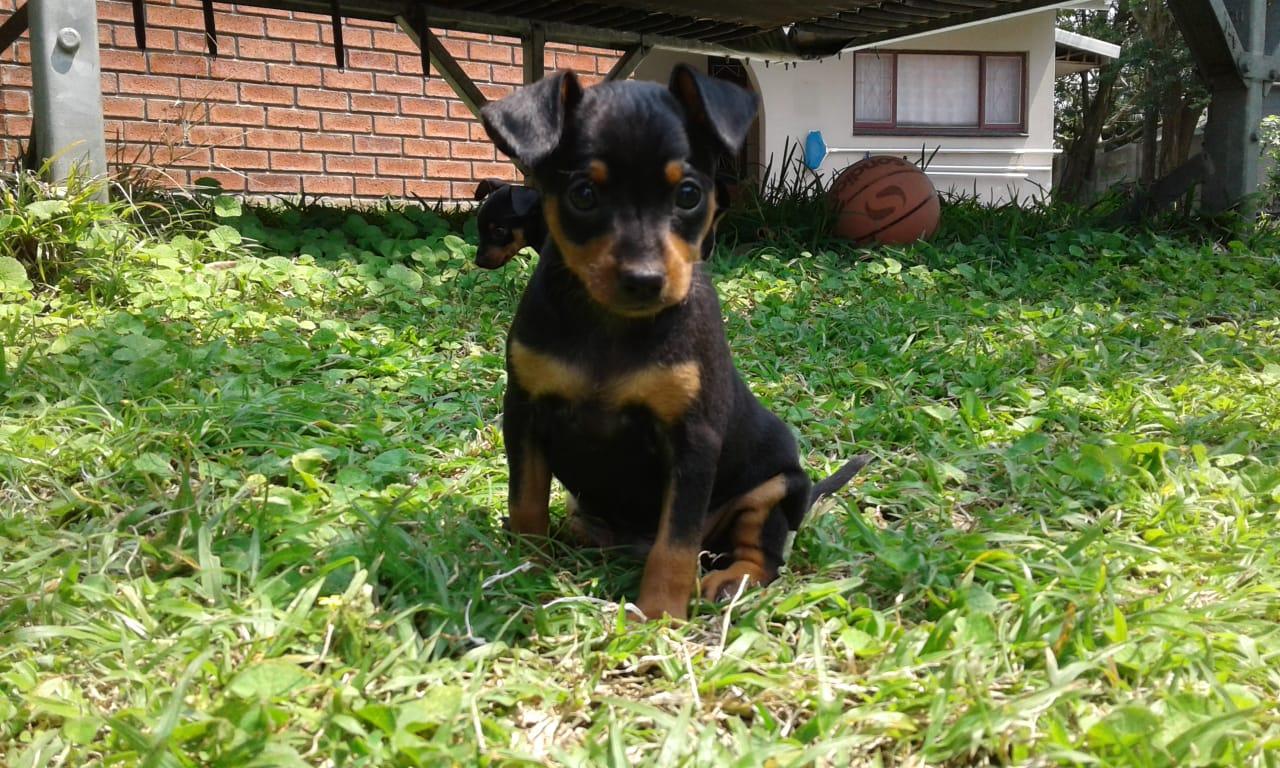 Miniature Doberman Pinscher Male Puppy For Sale Junk Mail