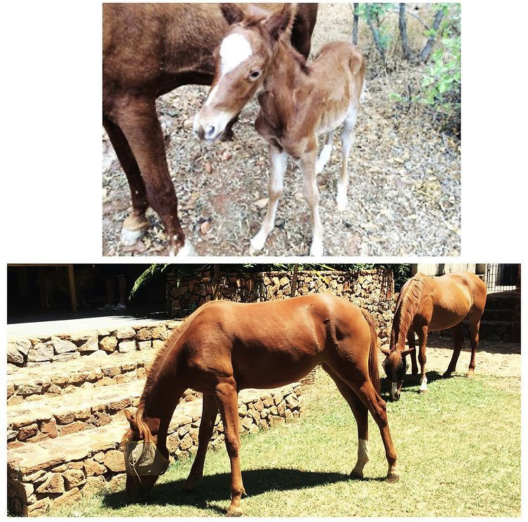 Chestnut Pony Free To Good Home