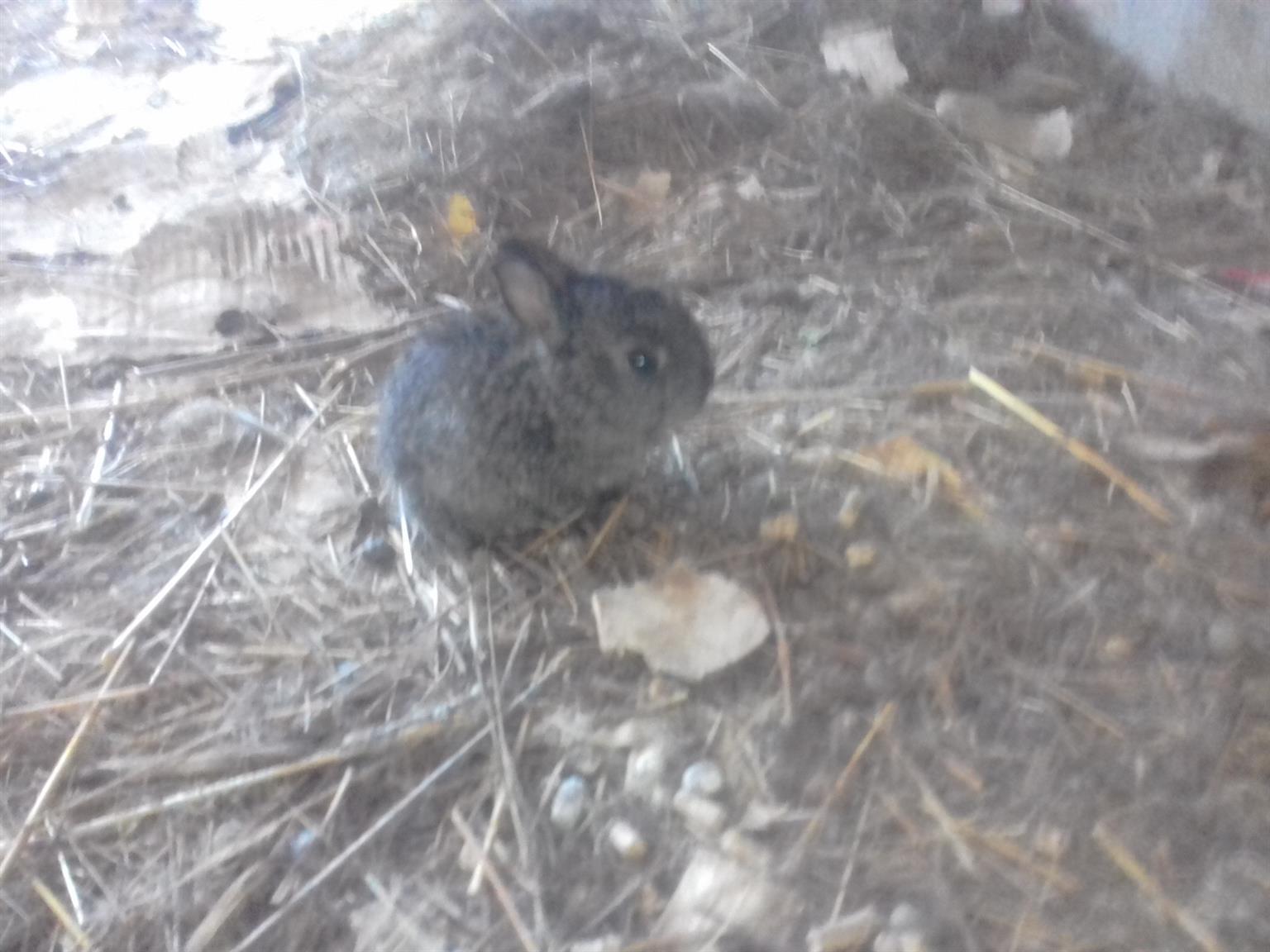 baby dwarf bunny for sale