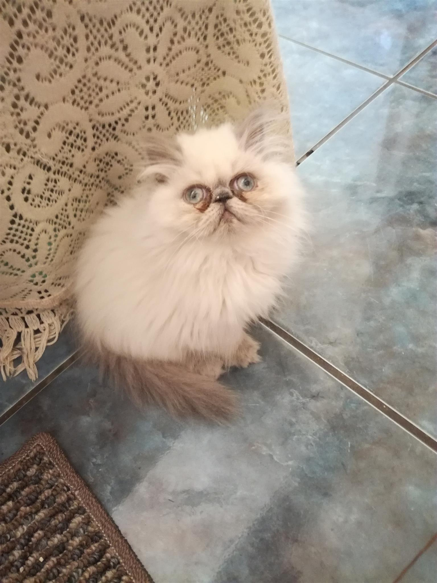 Persian kittens for sale | Junk Mail