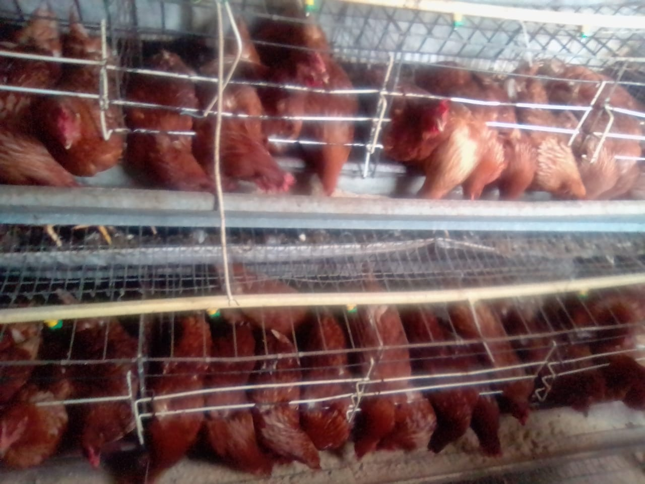 Layer cage with 197 (27 weeks old) Lohmann brown chickens.