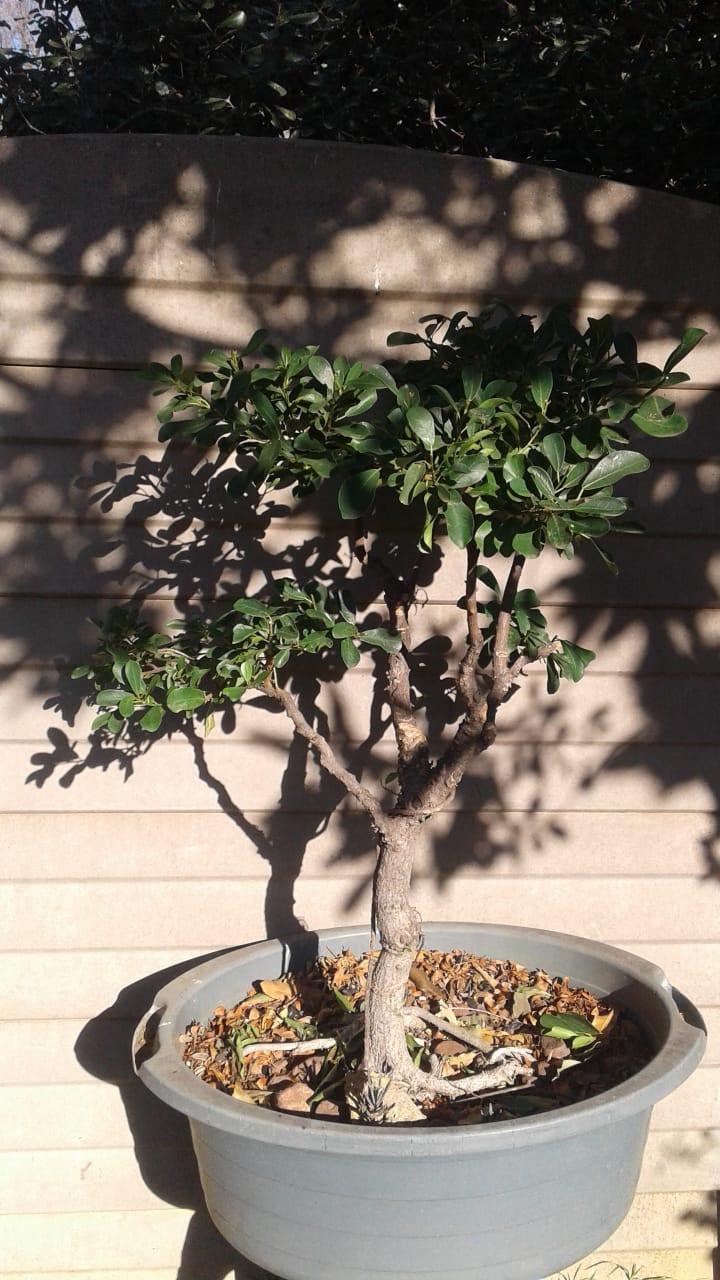 Bonsai material for sale