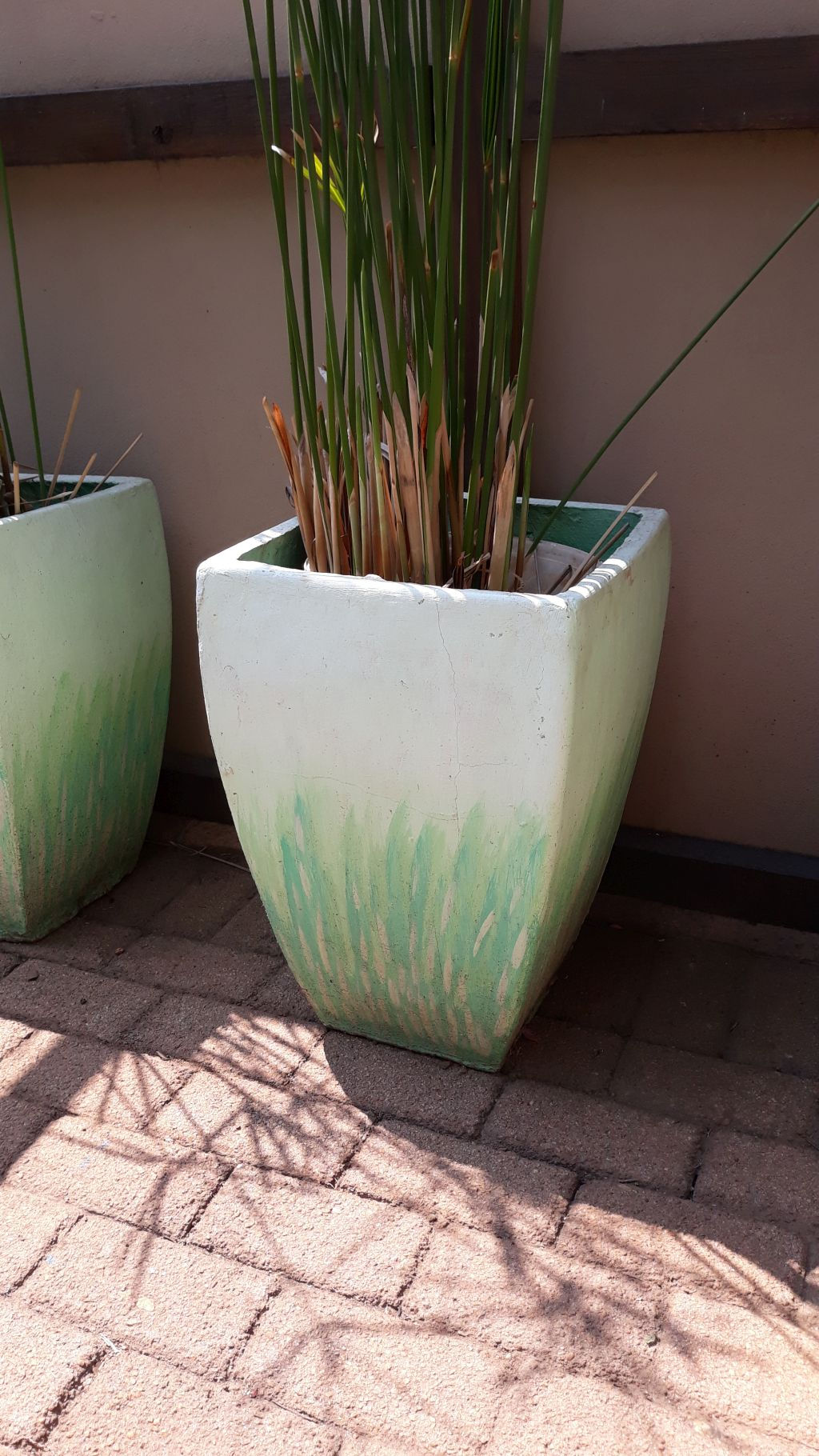 Paypyrus in cement pots