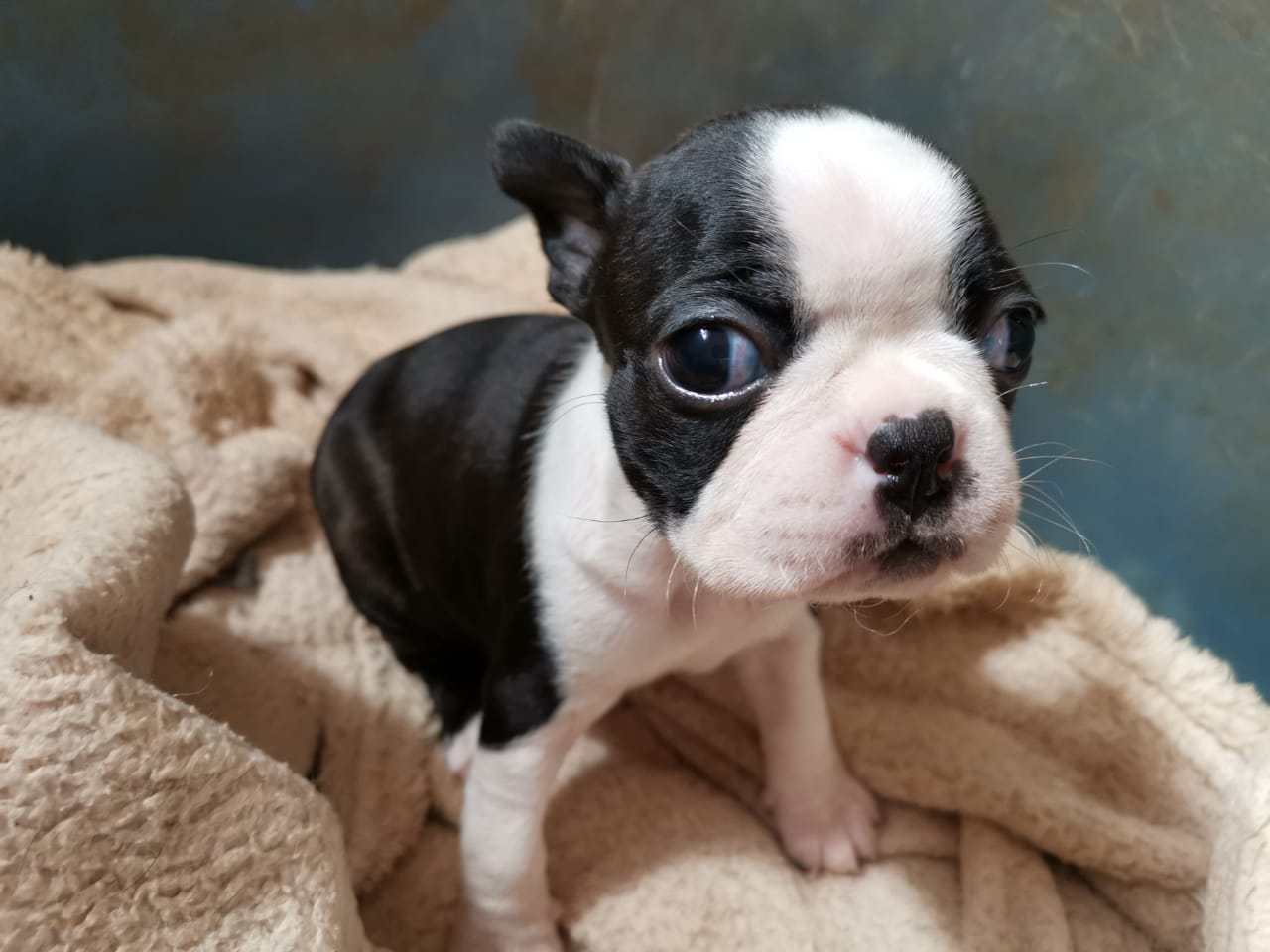 Pure Bred Boston Terrier Puppies