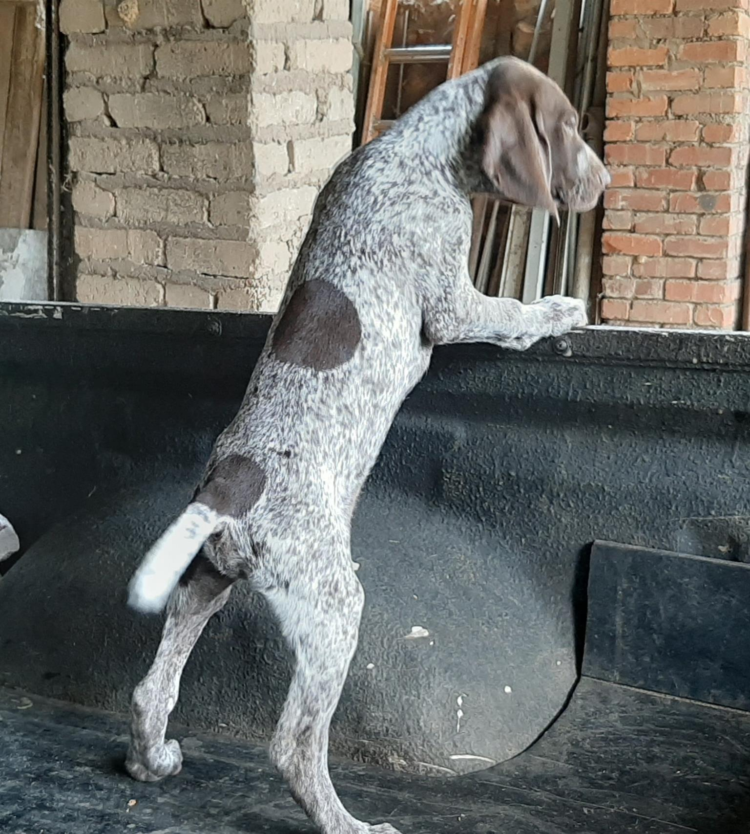 German short hair pointers for sale